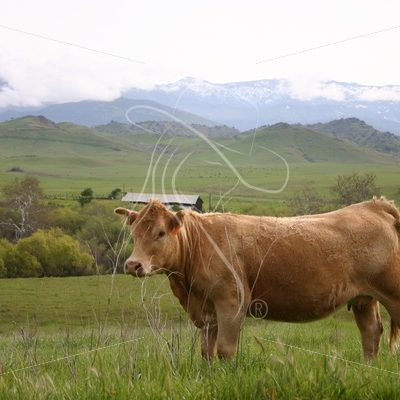 Cow with barn in background - Theresa Sheridan Designs
