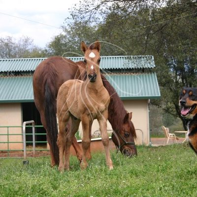 Dun colt on grass with rottweiler standing guard - Theresa Sheridan Designs