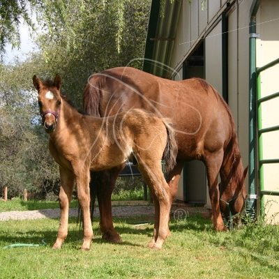 Dun colt with dam grazing - Theresa Sheridan Designs