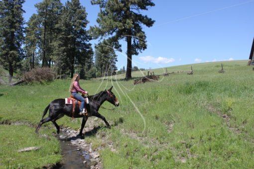 Girl riding bay mule across a creek - Theresa Sheridan Designs