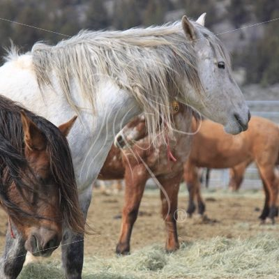 Gray Mustang horse in BLM wild horse corrals, Burns, Oregon - Theresa Sheridan Designs