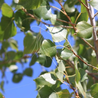 Green aspen leaves against a blue sky - Theresa Sheridan Designs