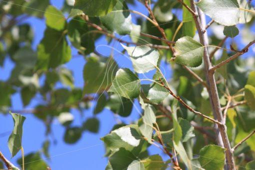 Green aspen leaves against a blue sky - Theresa Sheridan Designs