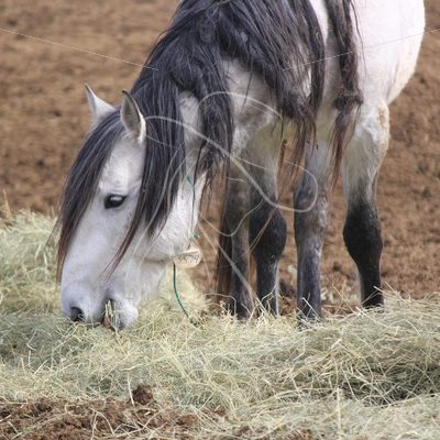 Grey mustang eating hay - Theresa Sheridan Designs