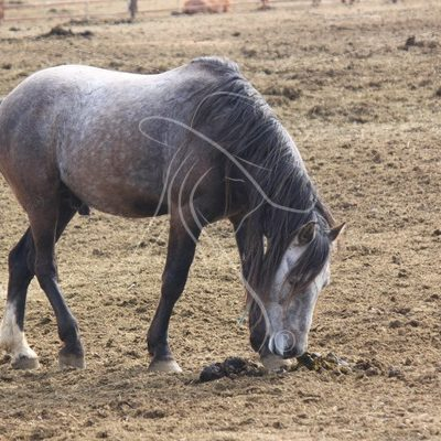Grey mustang stallion, Wild Horse Corrals, Burns, Oregon - Theresa Sheridan Designs