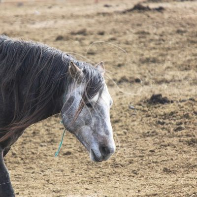 Grey mustang stallion at Wild Horse Corrals, Burns, Oregon - Theresa Sheridan Designs