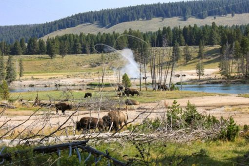 Herd of buffalo in Yellowstone grazing near the river and a geyser - Theresa Sheridan Designs