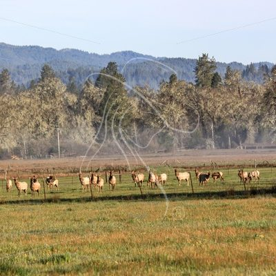 Herd of elk in a California meadow - Theresa Sheridan Designs