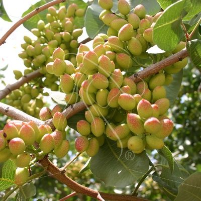 Large cluster of pistachios growing on the tree - Theresa Sheridan Designs
