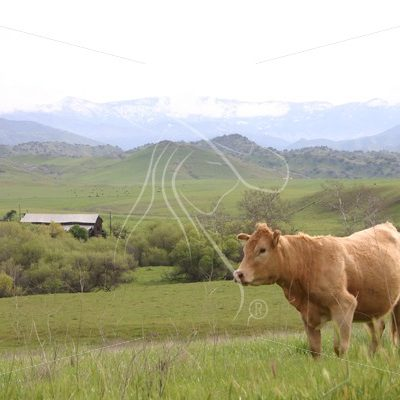 Lone cow with barn in background - Theresa Sheridan Designs