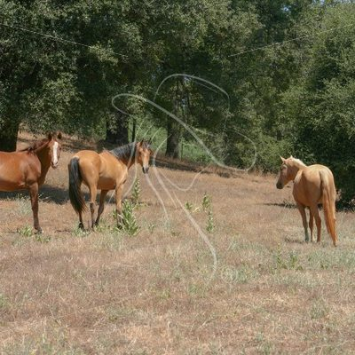 Mares grazing in pasture - Theresa Sheridan Designs