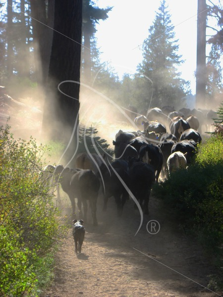Moving cattle up the trail - Theresa Sheridan Designs