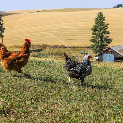 Pasture chickens in the grass - Theresa Sheridan Designs