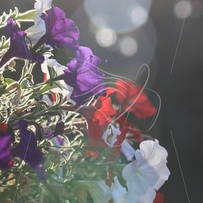 Petunias with sunshine and bokeh effect - Theresa Sheridan Designs