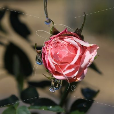 Pink rose bud with water drops - Theresa Sheridan Designs