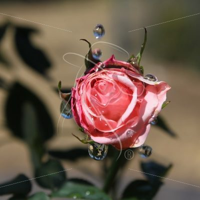 Pink rose with water droplets - Theresa Sheridan Designs