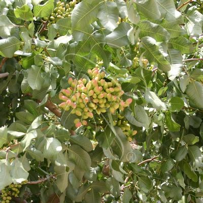 Pistachio nuts on the tree - Theresa Sheridan Designs