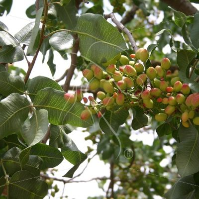 Pistachios growing on a tree - Theresa Sheridan Designs