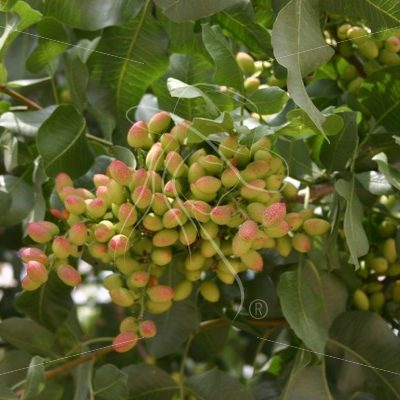 Pistachios on the tree - Theresa Sheridan Designs