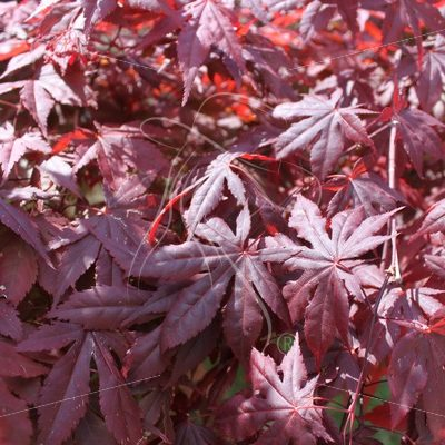 Purple Japanese maple leaves - Theresa Sheridan Designs