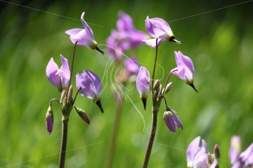 Purple wildflowers in the Sequoia National Forest - Theresa Sheridan Designs