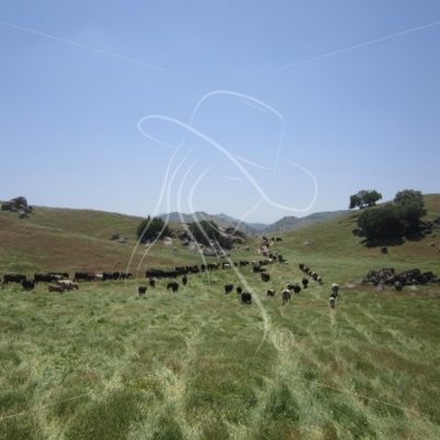Pushing cattle - Theresa Sheridan Designs