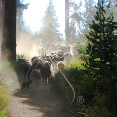 Pushing cattle up a dusty trail - Theresa Sheridan Designs