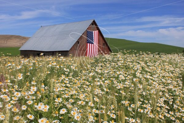 Red barn with US flag and daisies in the foreground - Theresa Sheridan Designs