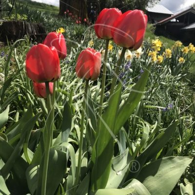 Red tulips on the farm - Theresa Sheridan Designs