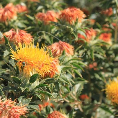 Safflower blooms - Theresa Sheridan Designs
