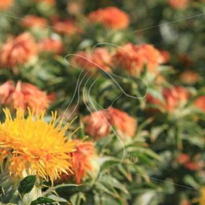 Safflower blossoms - Theresa Sheridan Designs