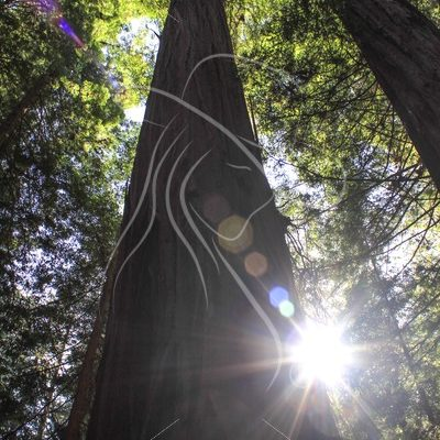 Sunburst behind a redwood tree with bokeh effect - Theresa Sheridan Designs