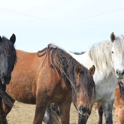 Three mustangs in the wild horse corrals, Burns, Oregon - Theresa Sheridan Designs