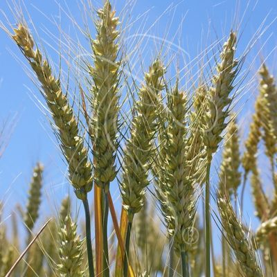 Wheat against a blue sky - Theresa Sheridan Designs
