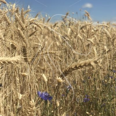 Wheat stalks with purple flowers against a blue sky - Theresa Sheridan Designs