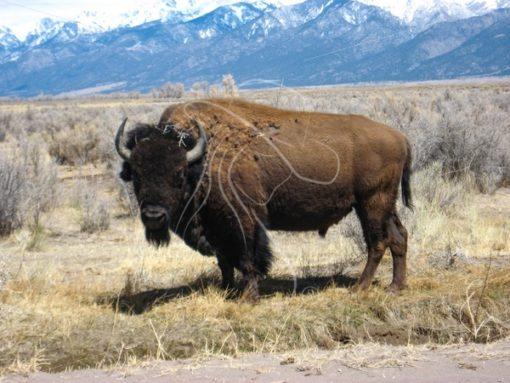 Bison bull standing alone - Theresa Sheridan Designs