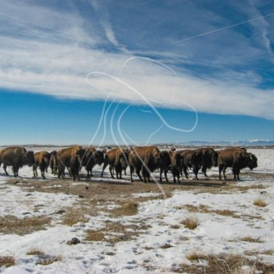 Herd of bison in winter - Theresa Sheridan Designs