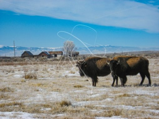 Pair of bison standing near old ranch house - Theresa Sheridan Designs