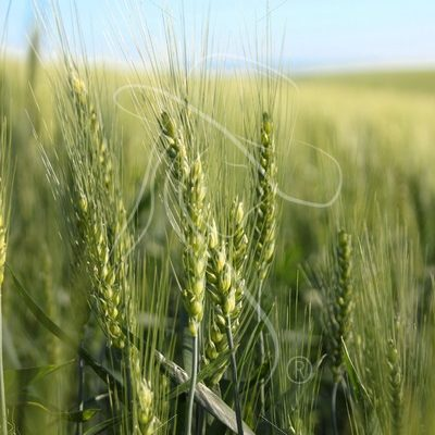 Close up of green wheat stalk - Cowgirl Media