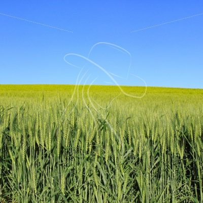 Green wheat field and blue sky - Cowgirl Media