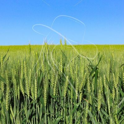 Green wheat stalks with blue sky - Cowgirl Media