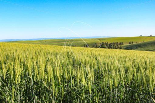 Wheat field with Idaho farmland in background - Cowgirl Media