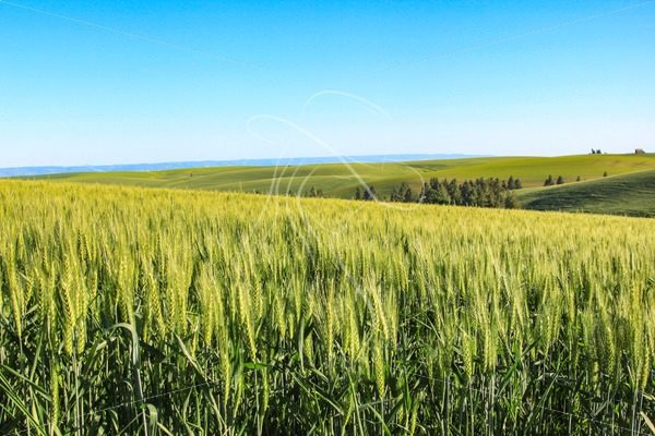 Wheat field with Idaho farmland in background - Cowgirl Media
