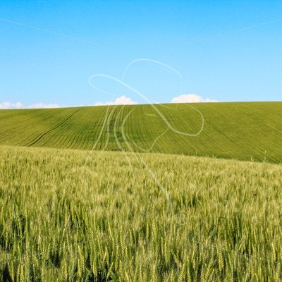 Wheat field with blue sky and clouds in the distance - Cowgirl Media