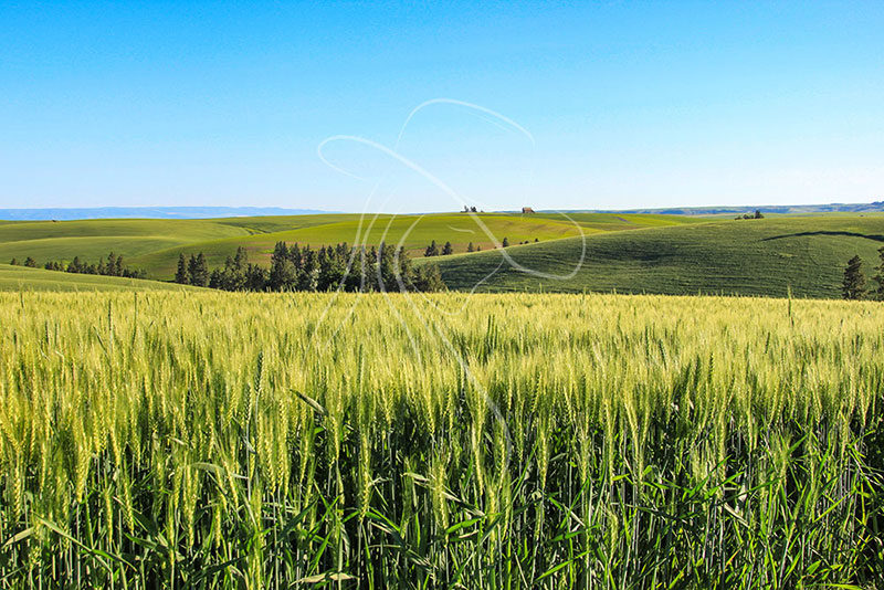 farmland on the palouse, in idaho