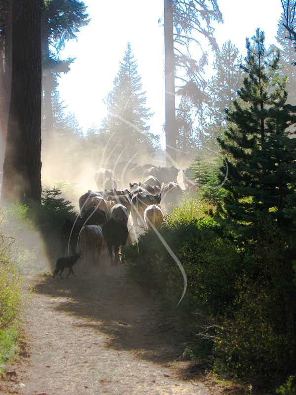 pushing cattle up a dusty trail