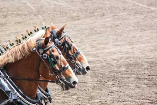 Belgian draft horses - Cowgirl Media