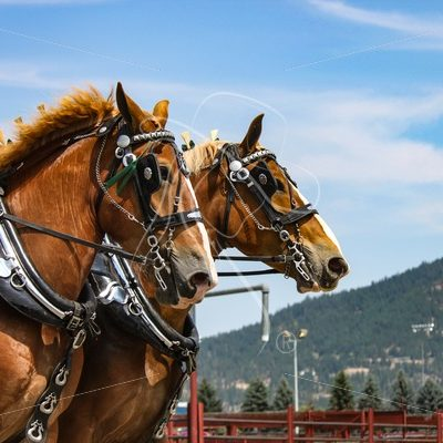 Belgian draft horses in harness - Cowgirl Media