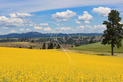 Canola field in bloom - Cowgirl Media