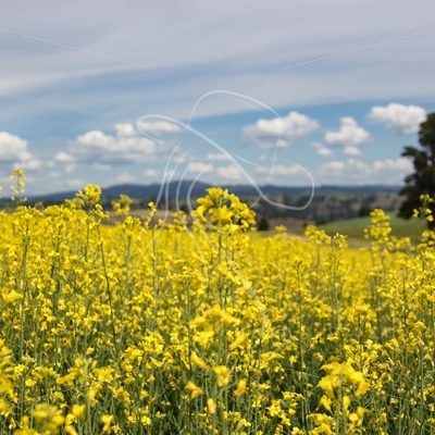 Close up of Canola - Cowgirl Media